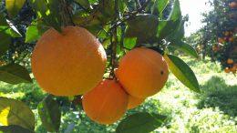 Arance di Sicilia - Un Prodotto Unico di Altissima Qualità